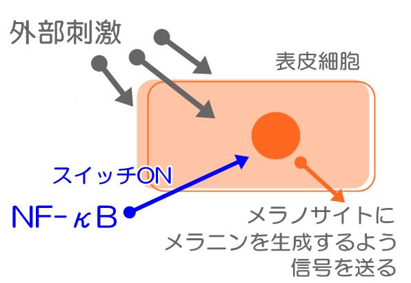 NF-κB